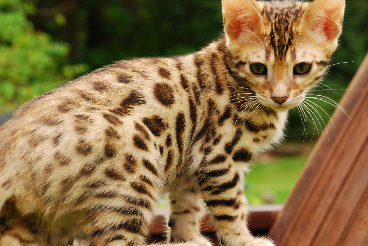 Traipse Bengals | Bengal Cat Breeder and Tiger Mountain Lap ...