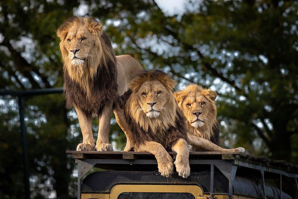 lion-4581841_1920.jpg
