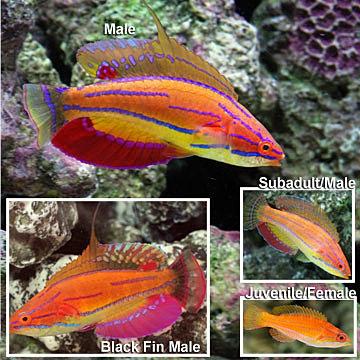 Tropical hobbies marine fish for beginners part 2 for Best saltwater fish for beginners