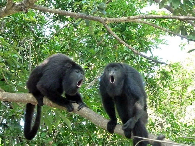 Two Black Monkeys These Two Yucatan Black Howler