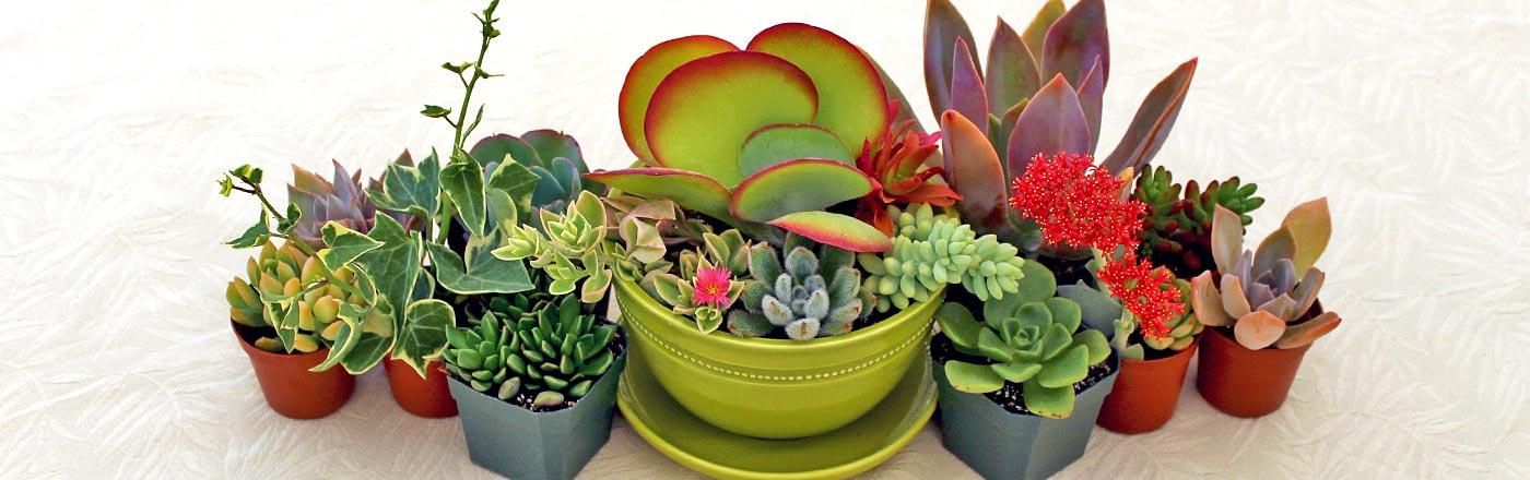 Propagation of Succulents | mooredirt