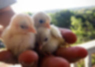 A hand holding chicks