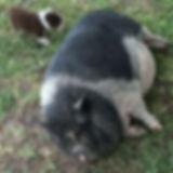 Maya The Pig