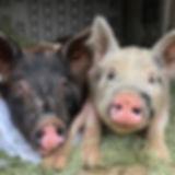 Hattie The Pig