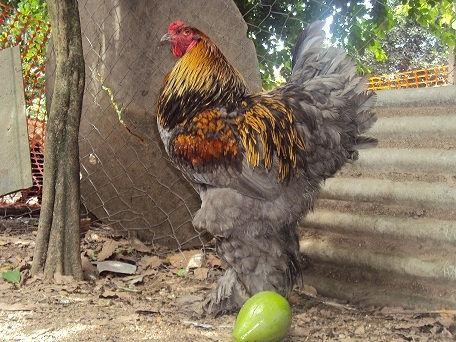 criatorio raca pura indio gigante galinhas de raca galinha brahma galinhaindio gigante. Black Bedroom Furniture Sets. Home Design Ideas