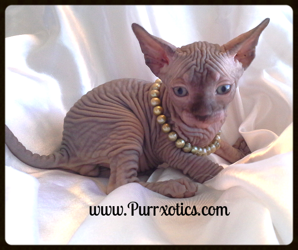 Purrxotics Sphynx Elf Bambino And Dwelf Kittens For Sale