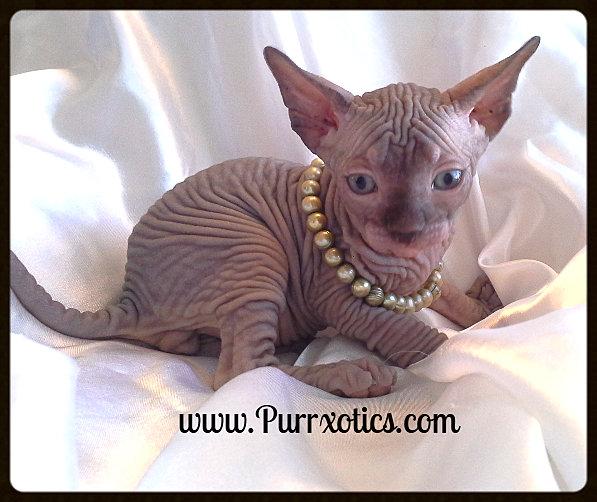 pampas cat pet