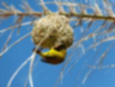 yellow-weaver-bird-2212677_1920.jpg