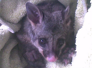Baby Brushtail Possum
