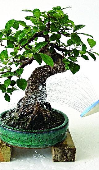 comment faut il arroser les bonsa arrosage mistral bonsai. Black Bedroom Furniture Sets. Home Design Ideas
