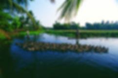 duck_farming_in_the_backwaters_20.jpg