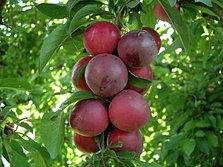 Viveros rancho calderon color y variedad en un solo for Viveros arboles frutales