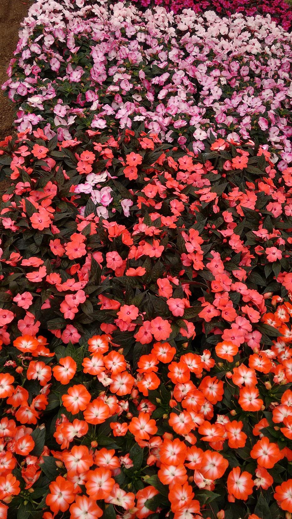 viveros rancho calderon productores de flores guadalajara