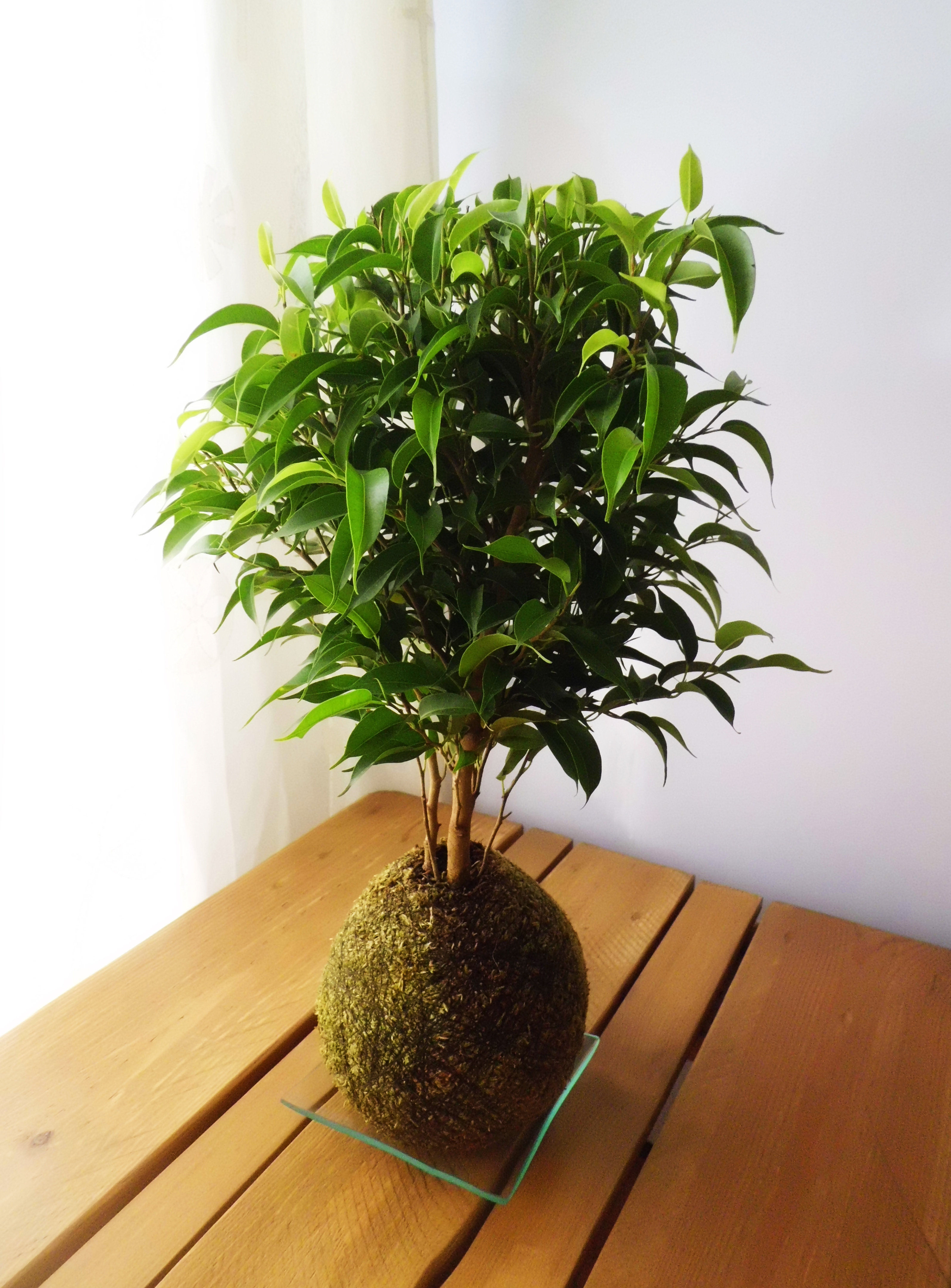 Kokedamas con amor madrid ficus benjamina - Ficus benjamina precio ...