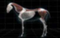 Ostéopathe animalier. Ostéopathe équin, canin, chevaux, chien.physiothérapeute, kinesithérapeute, tecar thérapie, Lorraine, Moselle, Metz, Luxembourg