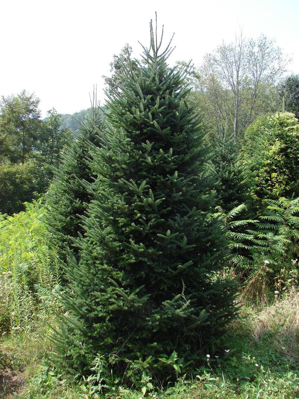 Christmas Tree Farm Columbia Sc
