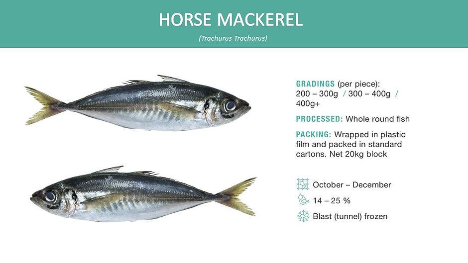 horse mackerel new.jpg