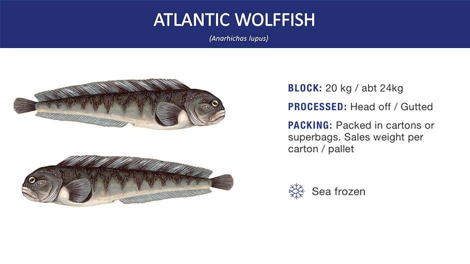 atlantic wolffish.jpg