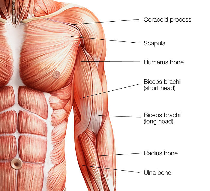fitness-militia | biceps brachii (short head), Human Body