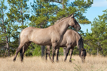 a history of the horses and how they grow In addition to appealing to horse-lovers, using minis in place of dogs has several benefits, including their longer life spans, which means they can serve as a guide and companion for over 30 years.