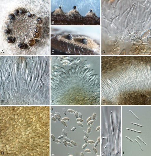 Resultado de imagem para Phaeocytostroma ambiguum Foto: Lamprecht et al. (2011)