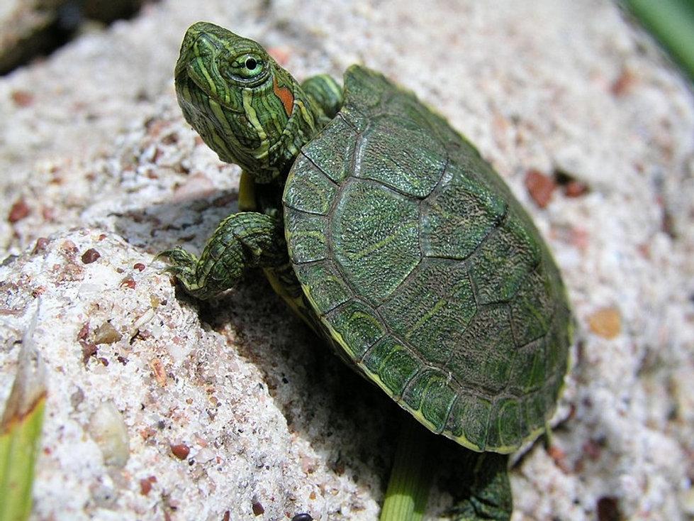 Half human half turtle