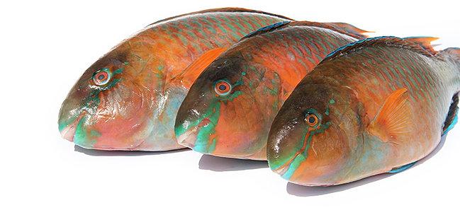 Parrat Fish