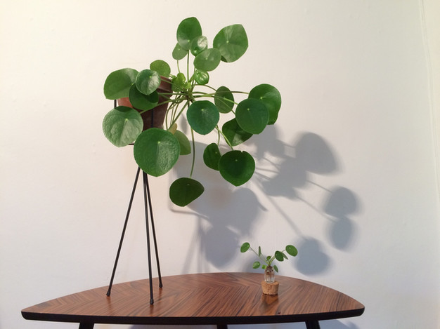 pilea peperomioides anton botanical. Black Bedroom Furniture Sets. Home Design Ideas