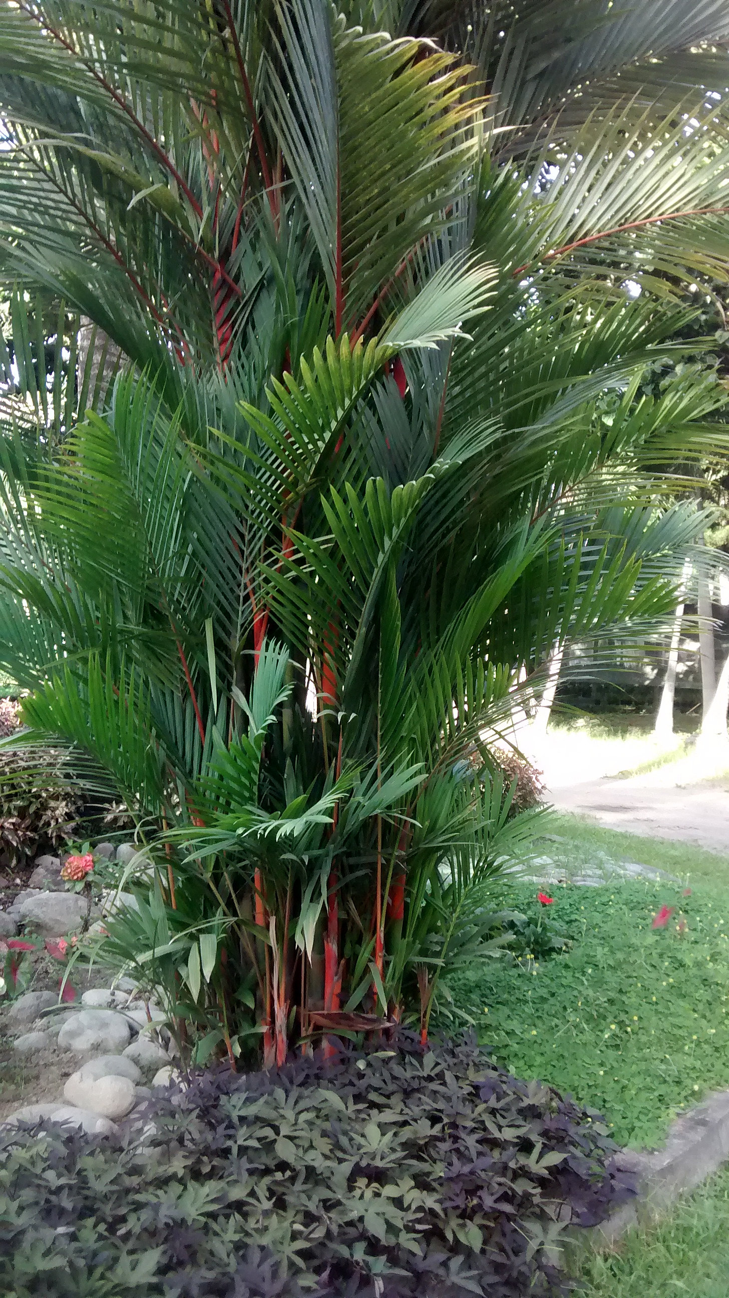 Vivero anapoima jardin con palma areca roja for Athos palma jardin