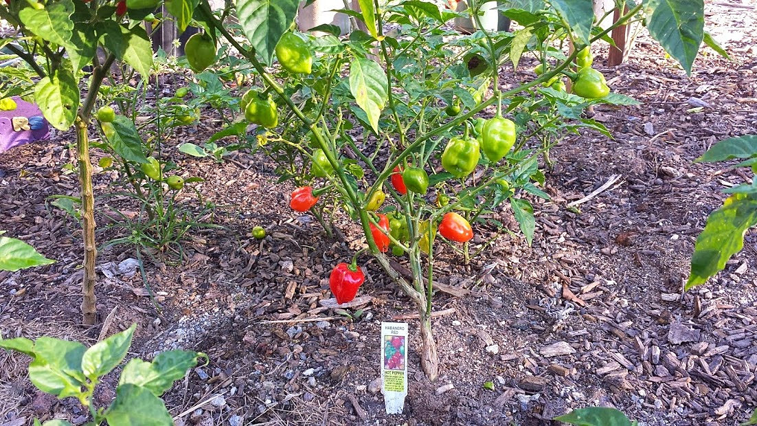 Gilliams community garden habanero pepers What to do with habanero peppers from garden