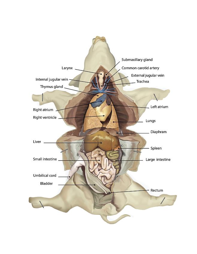 Leah Hofgesang Dissection Guides