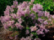 syringa-bloomerang-purple-0002.jpg