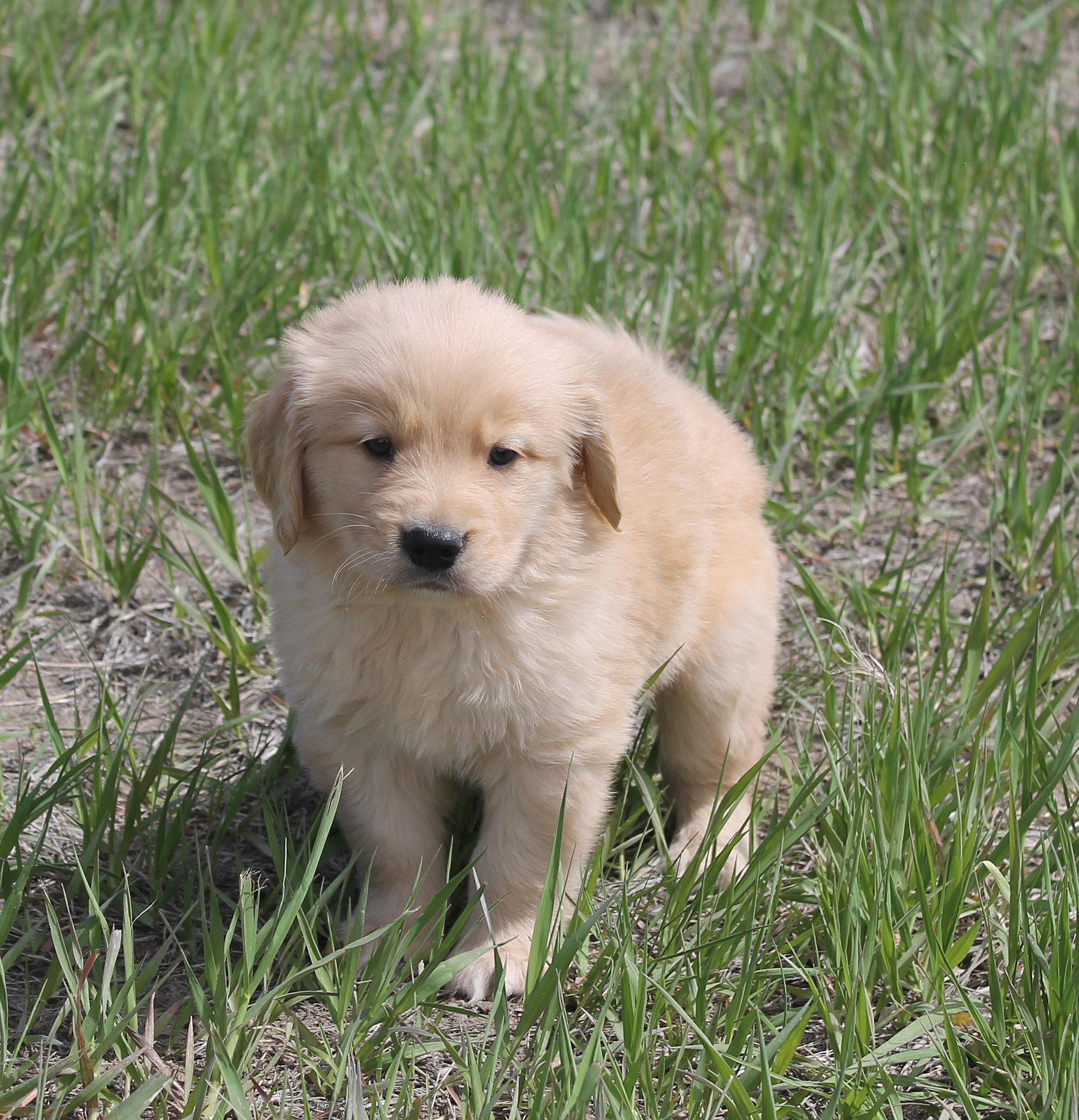 Buy golden retriever puppies colorado