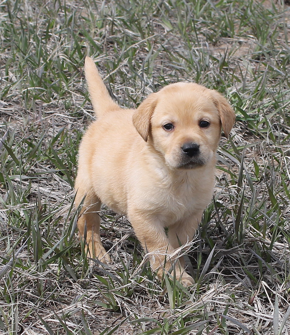 Colorado s Finest Kennel and Ranch Golden Retriever and Lab Breeders
