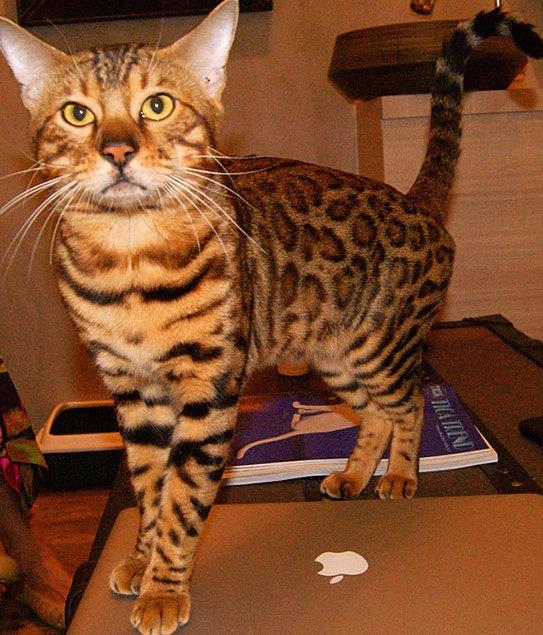 Leopard Cat For Sale Singapore