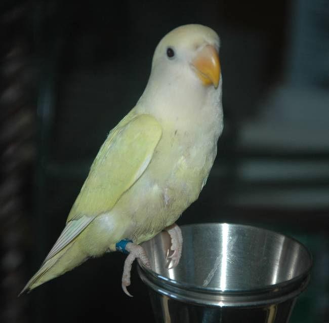 Roseicollis