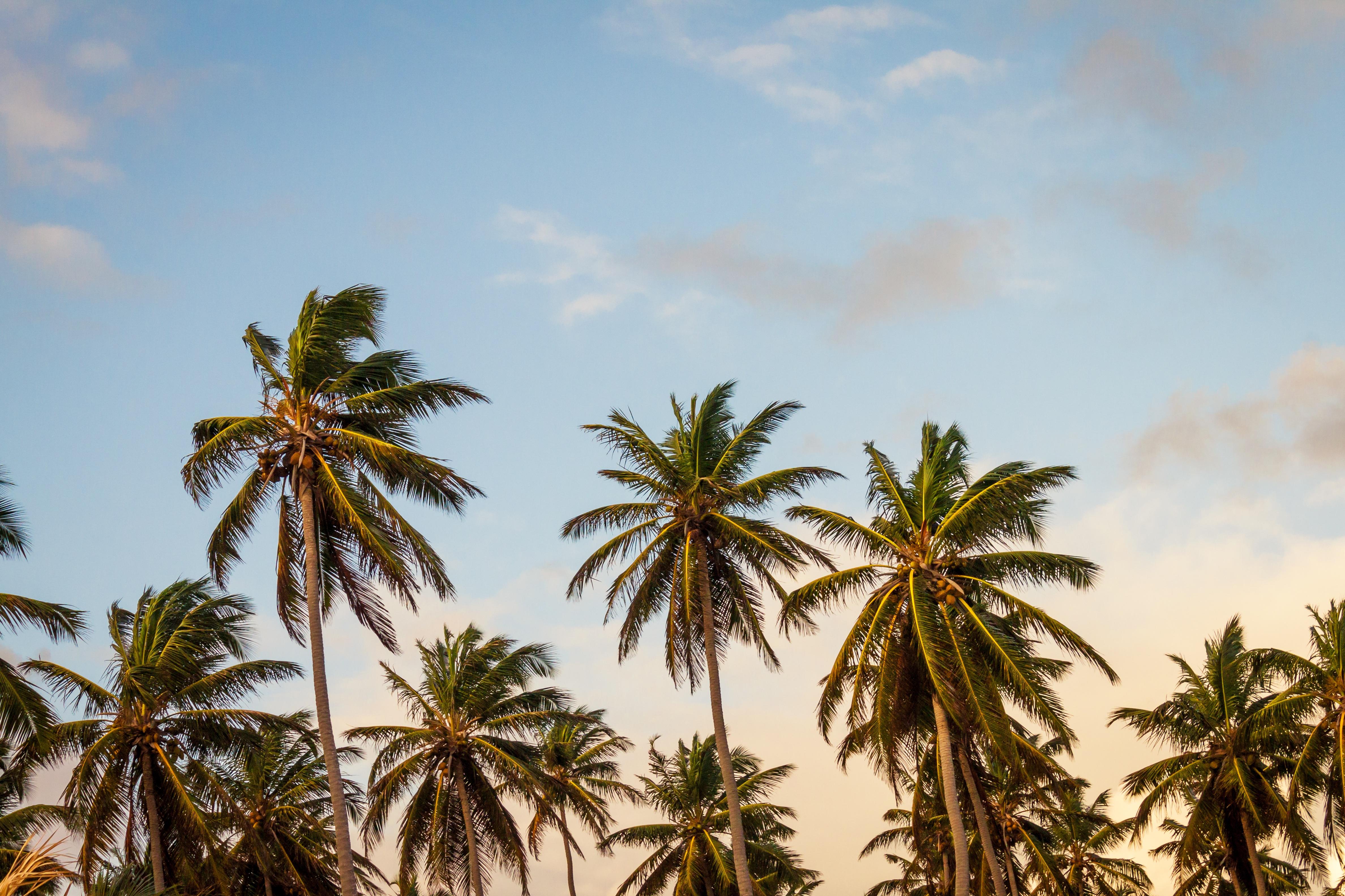 palmboom, strand, exotisch, reis