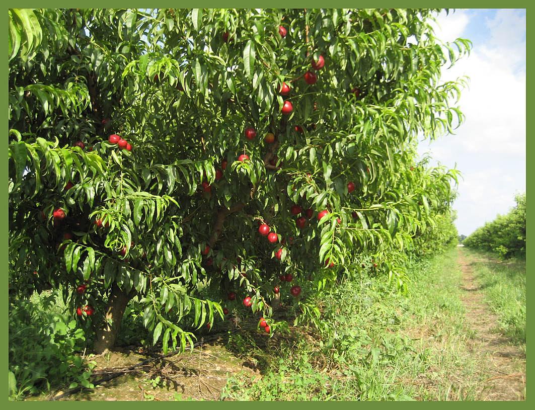 Jugos naturales nectarinos for Arboles de jardin fotos