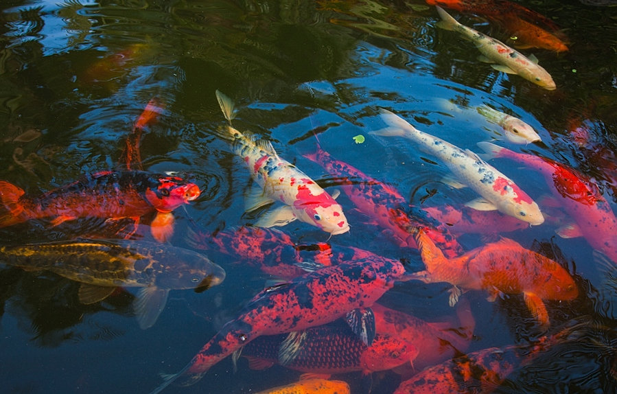 3d geography helping with the teaching and learning of for Koi fish culture