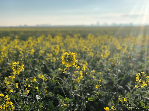 Oilseed Rape in the Sunshine.jpg