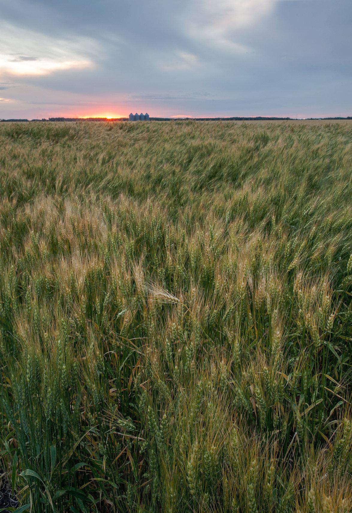 Wheat Flowing Landscape Photograph