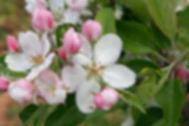 1200px-Apple_blossoms.jpg