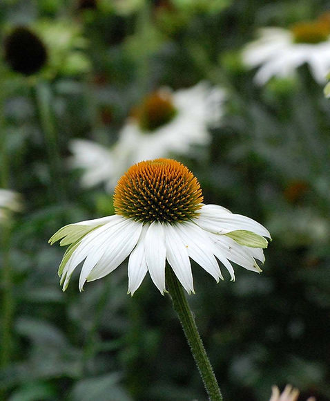 Echinacea flower in landscaping