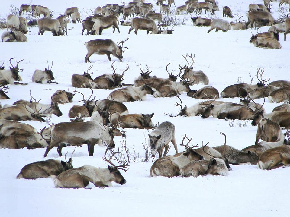 Destination Inuvik | Local Reindeer Herd