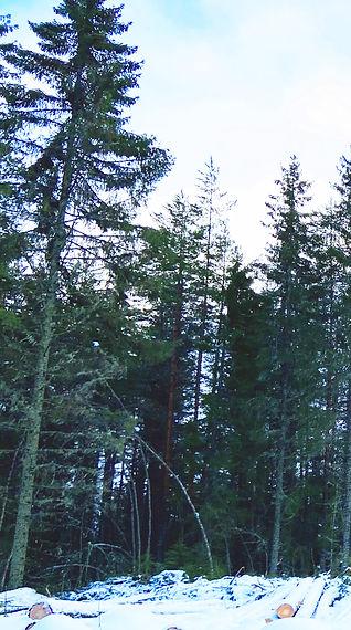 Tjärnmyra skog_HEMSIDA.jpg