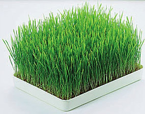 Wheat Grass enema