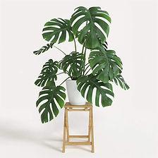 monstera in planter