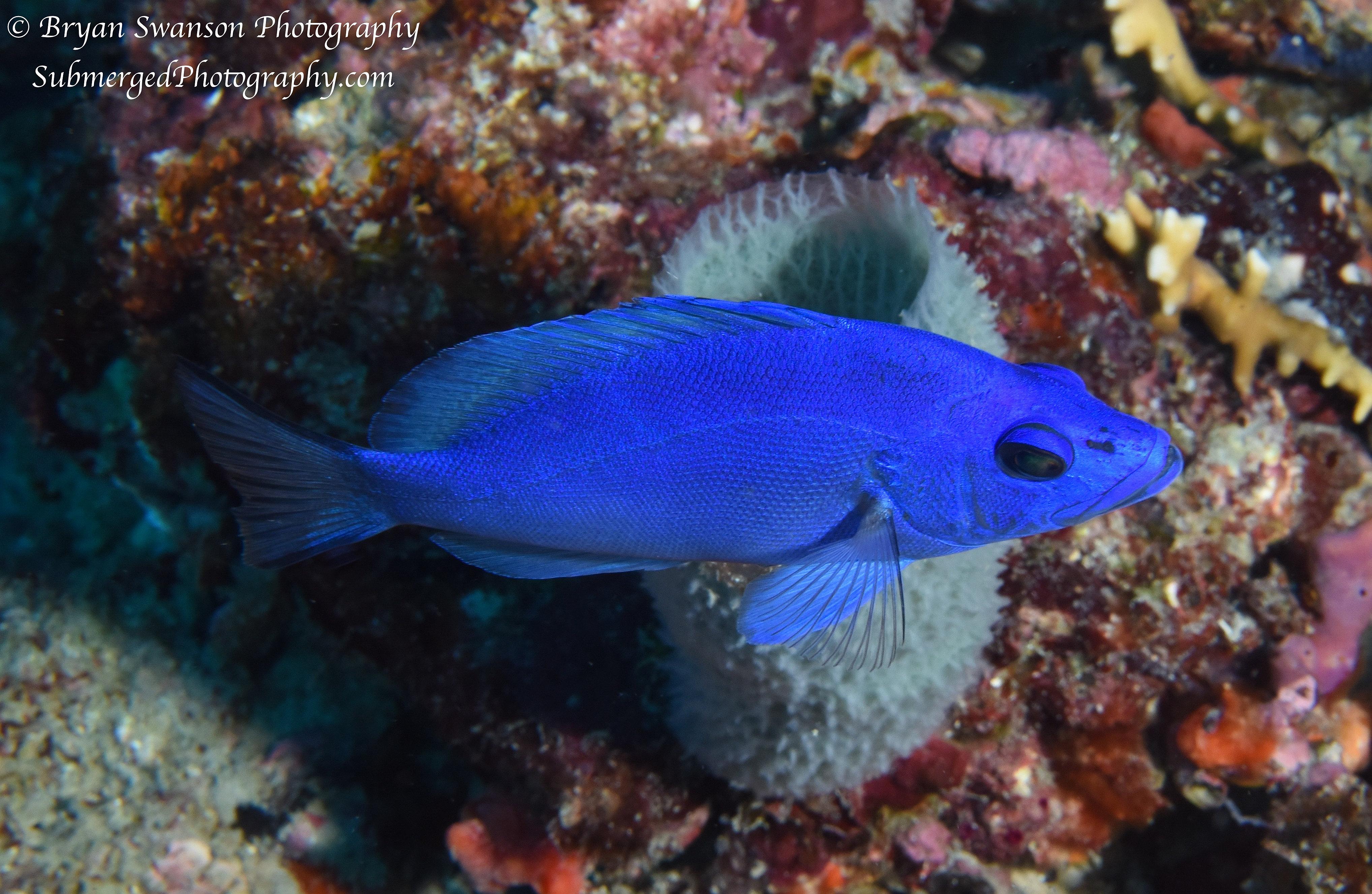 Bryan Swanson Uw Blue Hamlet Fish