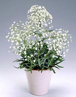 blomst brudeslør