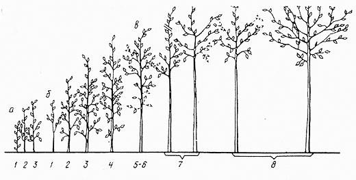 Схема формирования саженцев